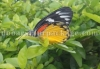 Butterfly at Dalgaon
