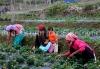 Samsing homestay strawberry farming