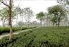 samsing-tea-garden
